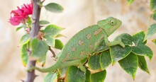 Refocusing From The Branch Of Bougainvillea Chameleon Escaping