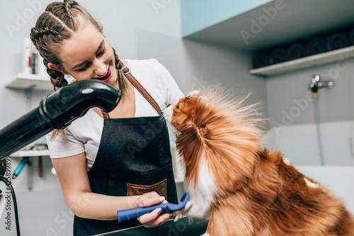 Billede på lærred Cavalier King Charles Spaniel on the table for grooming in the beauty salon for dogs