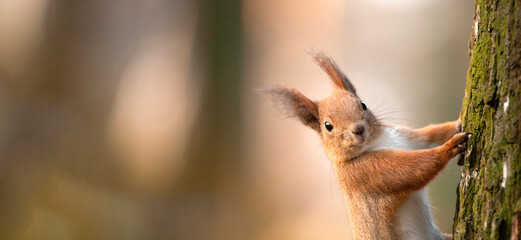 Red squirrel on a tree. Selective focus close-up