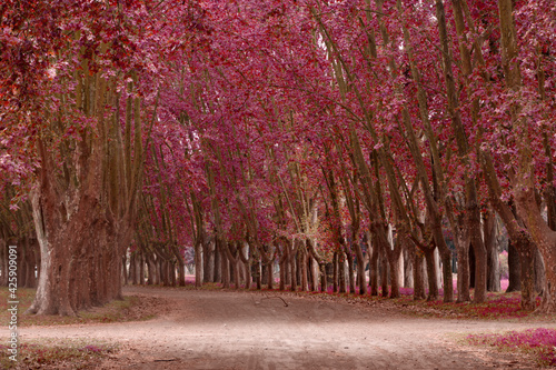 Obraz camino de tierra, cubierto de arboles coloridos.    - fototapety do salonu