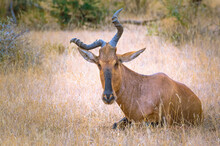Red Hartebeest In Mokala South Africa