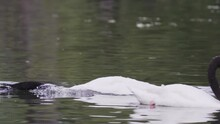Close Up Of Three Black-necked Swans Swimming Together Playfully On A Lake. Slow Motion.