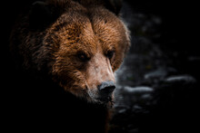 Portrait Of Grizzly Bear Close-up