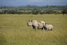 Black Rhinoceros With Calf, Ol Pejeta Conservancy, Kenya