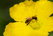 Bee On A Squash Blossom