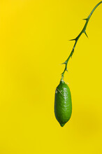 Green Finger Lime Isolated On Yellow. Also Known As Caviar Lime. Subtropical Climate Fruit.