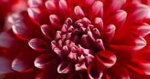 Dahlia Pink Red Flower Close Up Petals Bloom