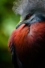Goura Scheepmakeri - Crowned Bird In Portrait.