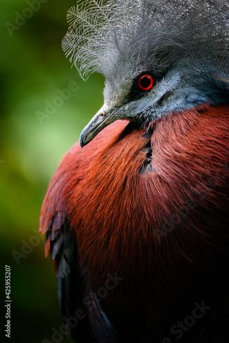 Fototapeta premium Goura scheepmakeri - crowned bird in portrait.