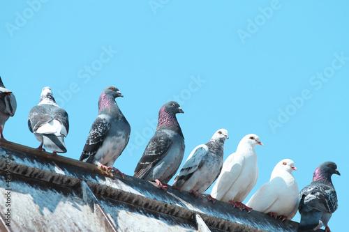 Carta da parati pigeons on the roof