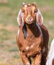 Young Brown Goat Posing In The Sun