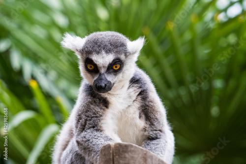 Fototapeta premium lemur on tree