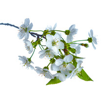 Blooming Pear Tree Branch With Beautiful White Flowers With Pink Stamens