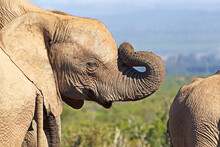 Juvenile Elephant With Trunk Rolled On Face