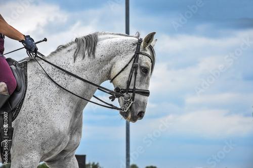 Fototapeta Głowa siwego konia obraz