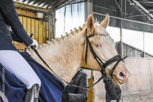 Piękny koń jasnej maści.