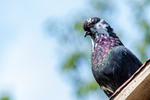 Black Pigeon Sits On The Roof Of The Dovecote And Looks Away Against The Pale Sky