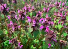 Purple Dead-nettle. Red Dead-nettle. Lamium Purpureum. Purple Archangel. Velikdenche. Macro Close Up Herbal Wild Flower.