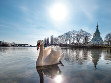 An Elegant White Swan On The Water Of The River