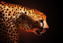 Profile Of Killer Cheetah Animal Over Dark Back
