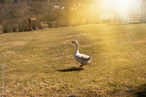 Fotografie, Tablou Goose grazing the green grass on animal farm.