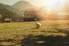 Goose Grazing The Green Grass On Animal Farm.