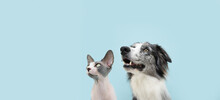 Portrait Attentive Two Pets, Dog  And Cat Looking Up. Concept Pet Obedience. Isolated On Blue Colored Background