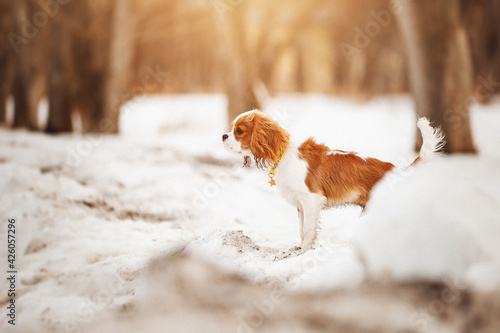 Cavalier King Charles Spaniel plays in the winter on the street with a stick Fototapet