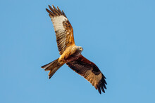 Red Kite (Milvus Milvus) Bird Of Prey In Flight, Once Endangered But Now Common In The Chilterns, Turville, Oxfordshire, England, United Kingdom