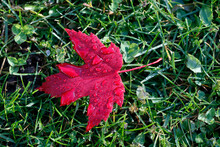 Red Maple Leaf With Drops Of Water In Autumn, France