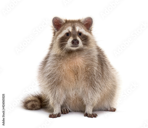 Red Raccoon facing at the camera isolated on white
