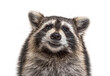 canvas print picture head shot of a young Raccoon facing at the camera, isolated
