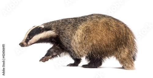 Fotografia, Obraz Side view of a European badger walking away, isolated