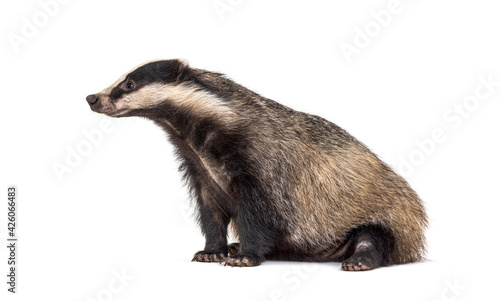 Leinwand Poster side view European badger, six months old