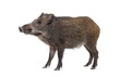 canvas print picture Standing Wild boar, isolated on white