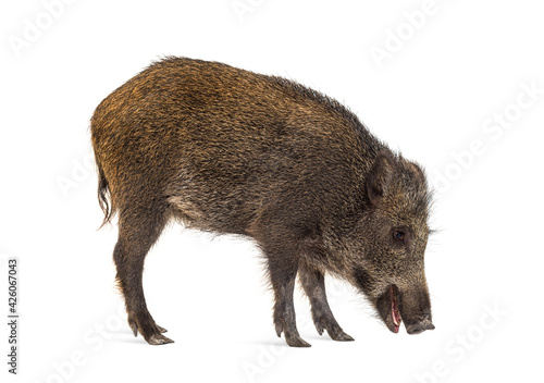 Wild boar, walking, looking down and sniffing the ground, isolated on white