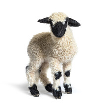 Valais Blacknose Lamb Standing In Front, Isolated On White