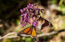 Close Up Of Monarch Butterflies (Danaus Plexippus), Monarch Butterfly Biosphere Reserve, UNESCO World Heritage Site, El Rosario, Michoacan, Mexico