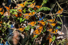 Millions Of Butterflies Covering Trees, Monarch Butterfly Biosphere Reserve, UNESCO World Heritage Site, El Rosario, Michoacan, Mexico