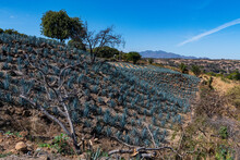 Blue Agave Field, UNESCO World Heritage Site, Tequila, Jalisco, Mexico