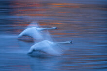 Mute Swan (Cygnus Olor), At Dawn, In Flight Over The River Vltava, Prague, Czech Republic