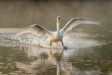 Mute Swan (Cygnus Olor) Landing, Kent, England, United Kingdom