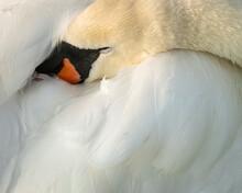 Mute Swan (Cygnus Olor), Kent, England, United Kingdom