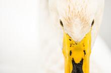 Close-up Of Whooper Swan (Cygnus Cygnus), Kent, England, United Kingdom