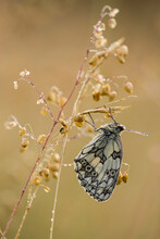 Marbled White (Melanargia Galathea) Butterfly, Adult Roosting On Grass, In Meadow Habitat, Kent, England, United Kingdom