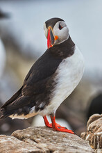 A Portrait Of An Atlantic Puffin (Fratercula Arctica), Staple Island, Farne Islands, Northumberland, Northeast England, United Kingdom