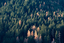 Larch And Spruce Forest With Larches Turning Yellow In Autumn, Trentino-Alto Adige, Italy