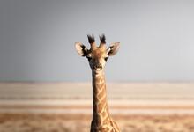 Portrait Of A Giraffe (Giraffa Camelopardalis), Namibia