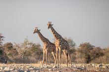 Two Giraffes (Giraffa Camelopardalis) Near A Waterhole, Side View, Etosha National Park, Namibia