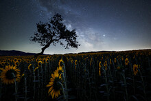 Milky Way Above A Sunflowers Field With A Bent Tree Silhouette, Emilia Romagna, Italy